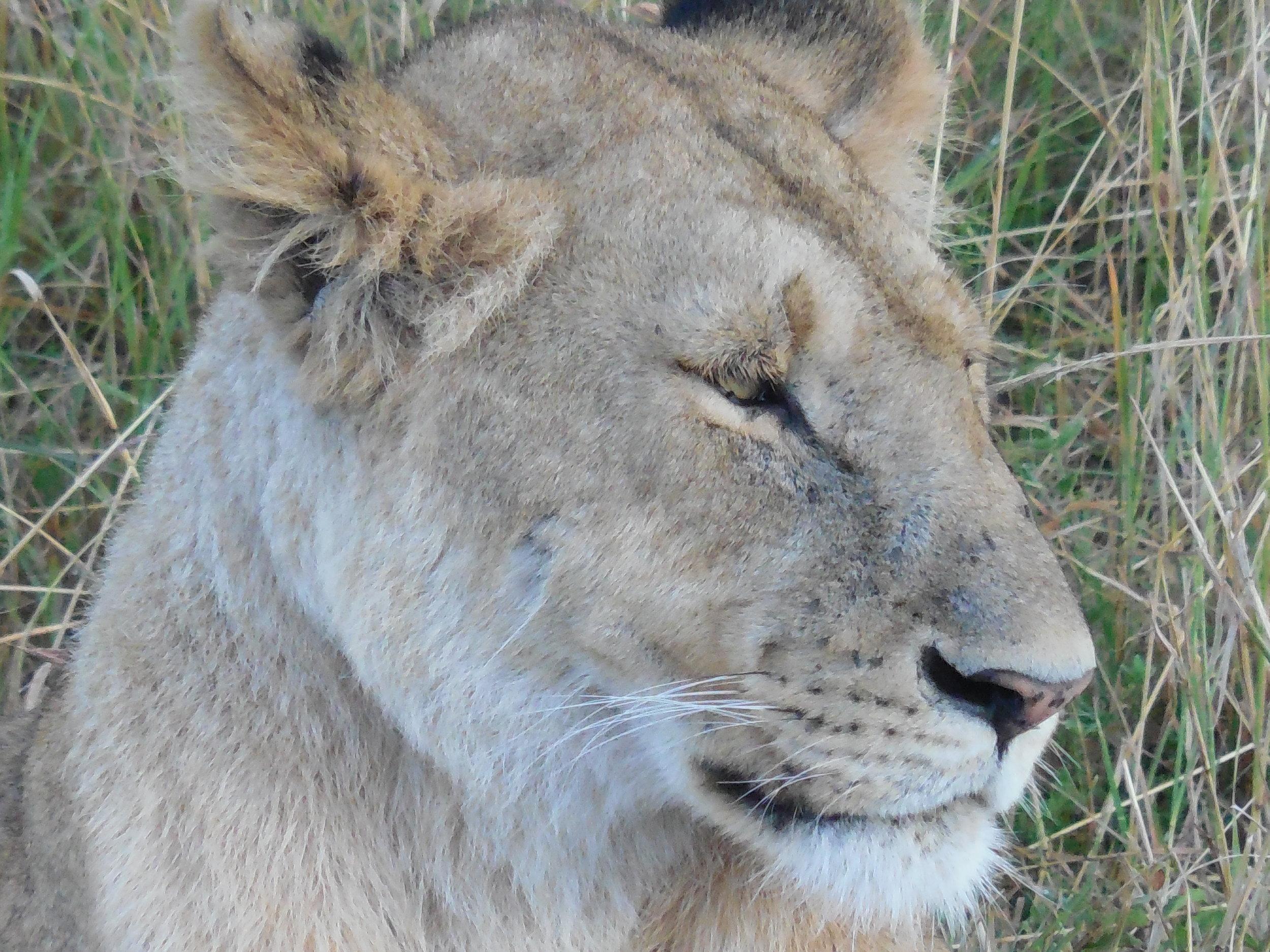 Lioness ©Flyga Twiga™ LLC