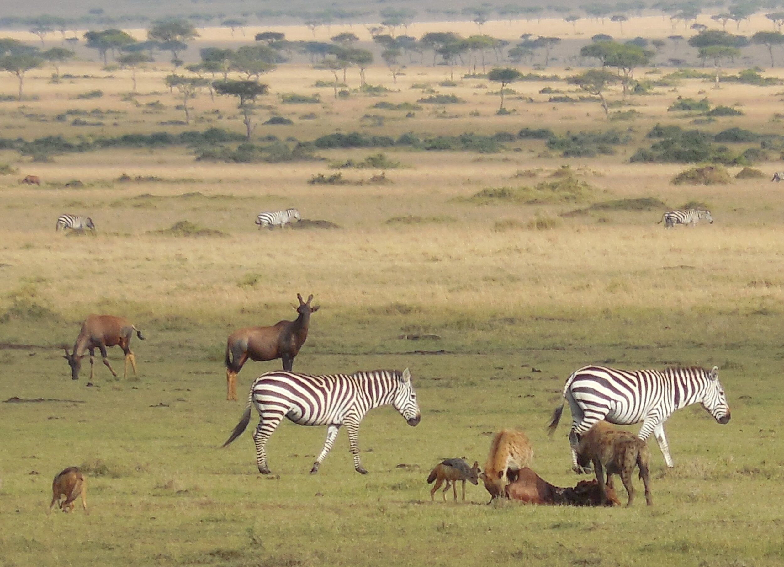 Maasai Mara, Early Migration Starting in Kenya 2014 ©Flyga Twiga™ LLC
