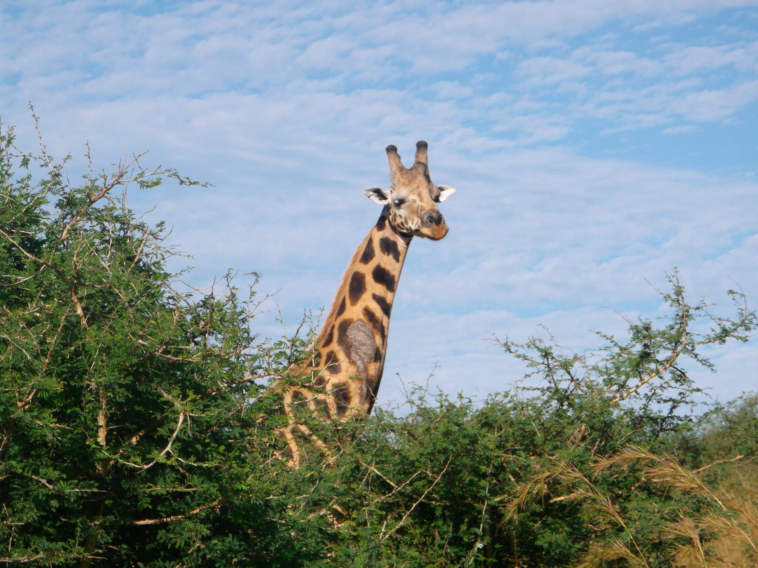 Twiga in Uganda ©Flyga Twiga™ LLC