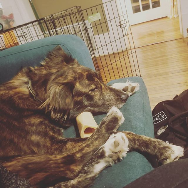 Sleepy pup, annoyed that I'm making her stay up past her bedtime. Such a good fluff.  #pupsofinstagram #doglife #brindle #australianshepherd #dutchshepherd #shepherdmix #pupper