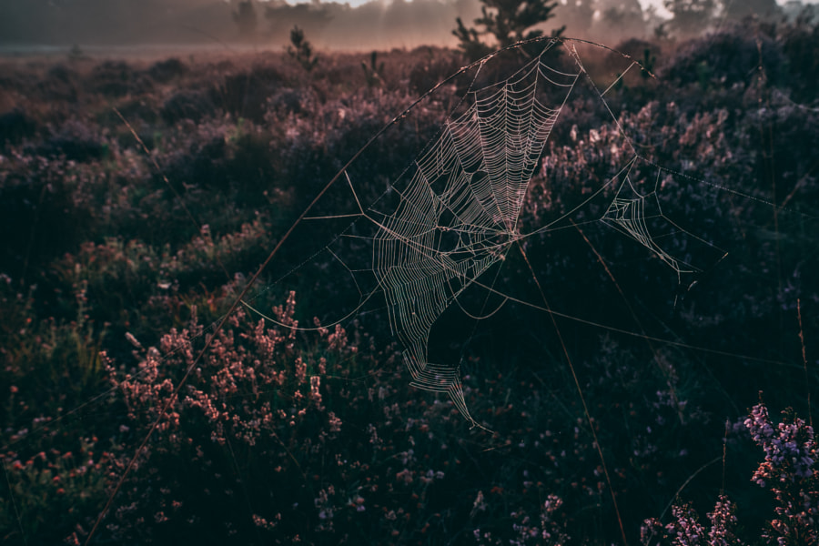 Sunrise Spiderweb