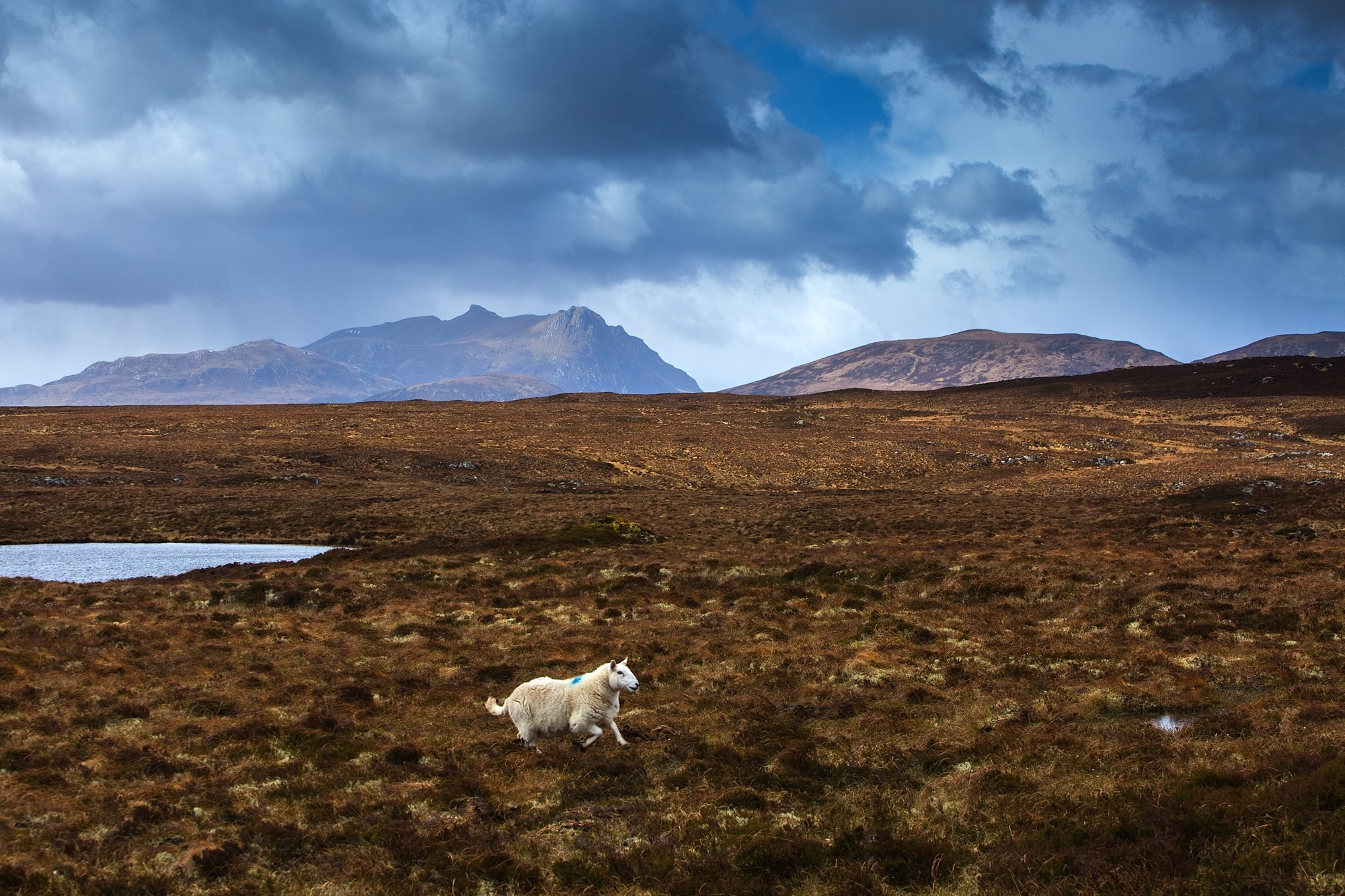 A lone sheep trots across the landscape at Clair-loch mor