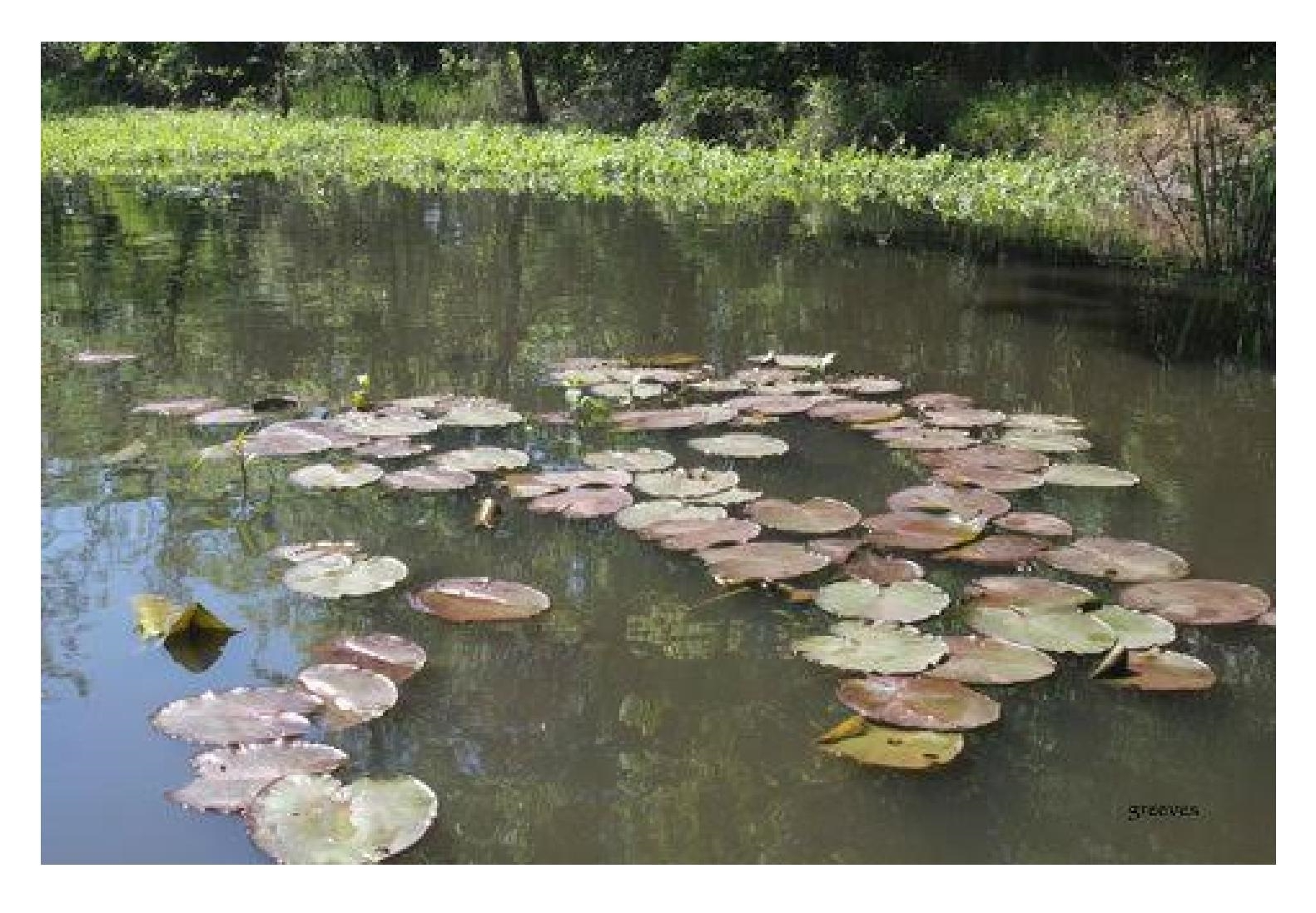 Glenda Reeves   Lily Pads   Photograph