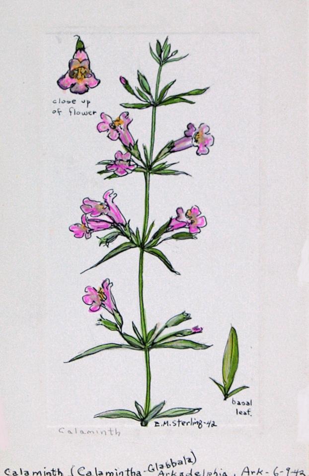 Calaminta (calmintha glabbala), elsie mistie sterling, 1942, ASC86.001.005
