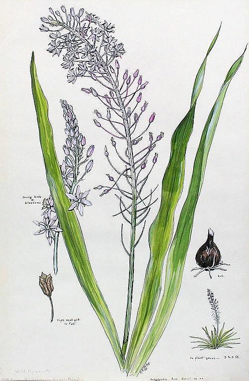 Wild Hyacinth (quamasia hyacinthina), elsie mistie sterling, ASC86.001.222