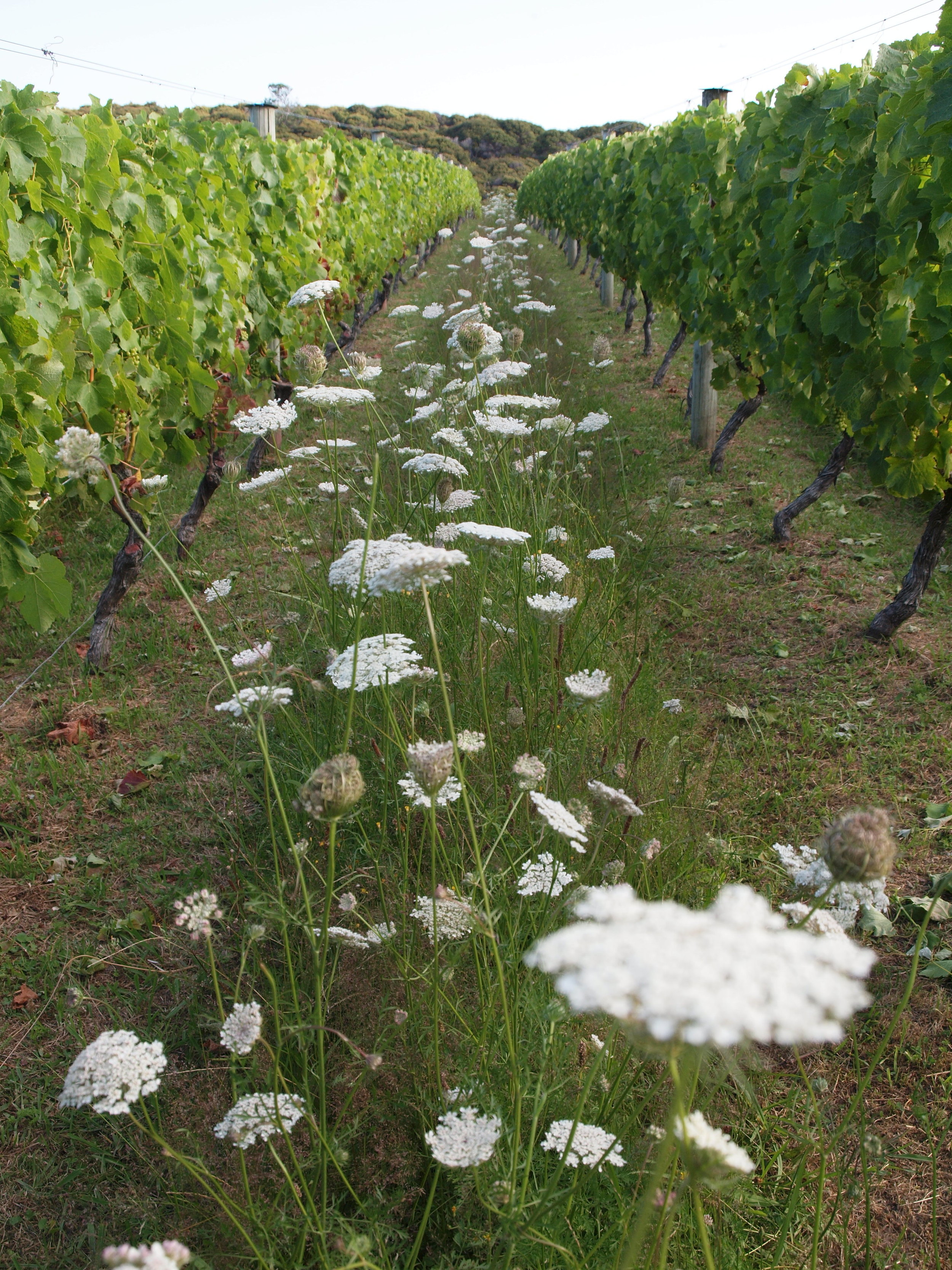 SUMMER INTER-ROW WILD PASTURE FOR BIODIVERSITY AND UNDER-VINE MOWING AVOIDS NEED FOR HERBICIDES -HOME VINEYARD WAIHEKE ISLAND.