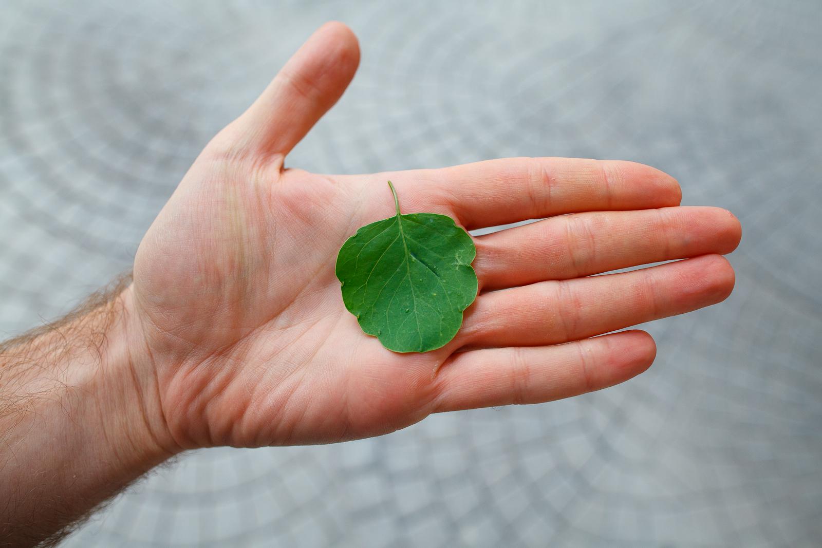 Pápalo, the essential herb for a cemita poblana