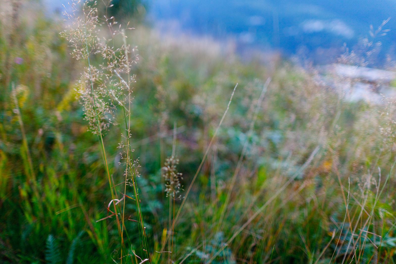 Local wild wheat