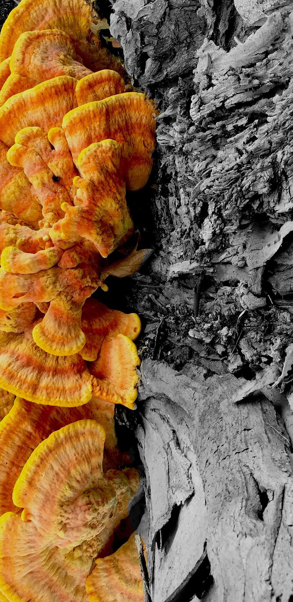 Fungus on Eucalyptus