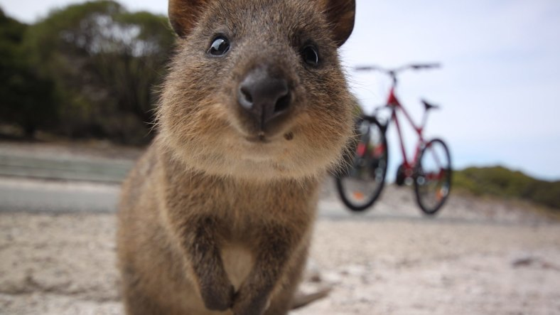 That's one cute quokka!!!!!!!!!