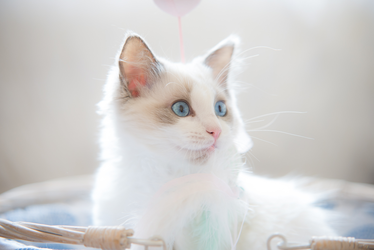 Those super cute baby blue eyes. Although all cats are born with blue eyes, Ragdoll cats keep their baby blues for life.