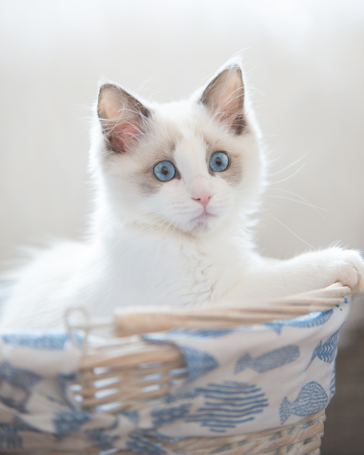 If ever there was a kitten photo to pin, this would be it. That curiously cheeky look, flashing perfect blue orbs.