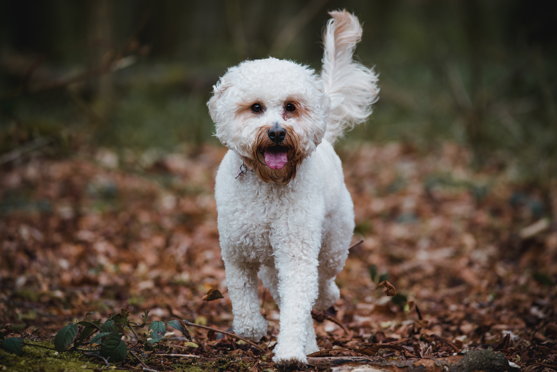 White cockapoo - dog portrait in the woods