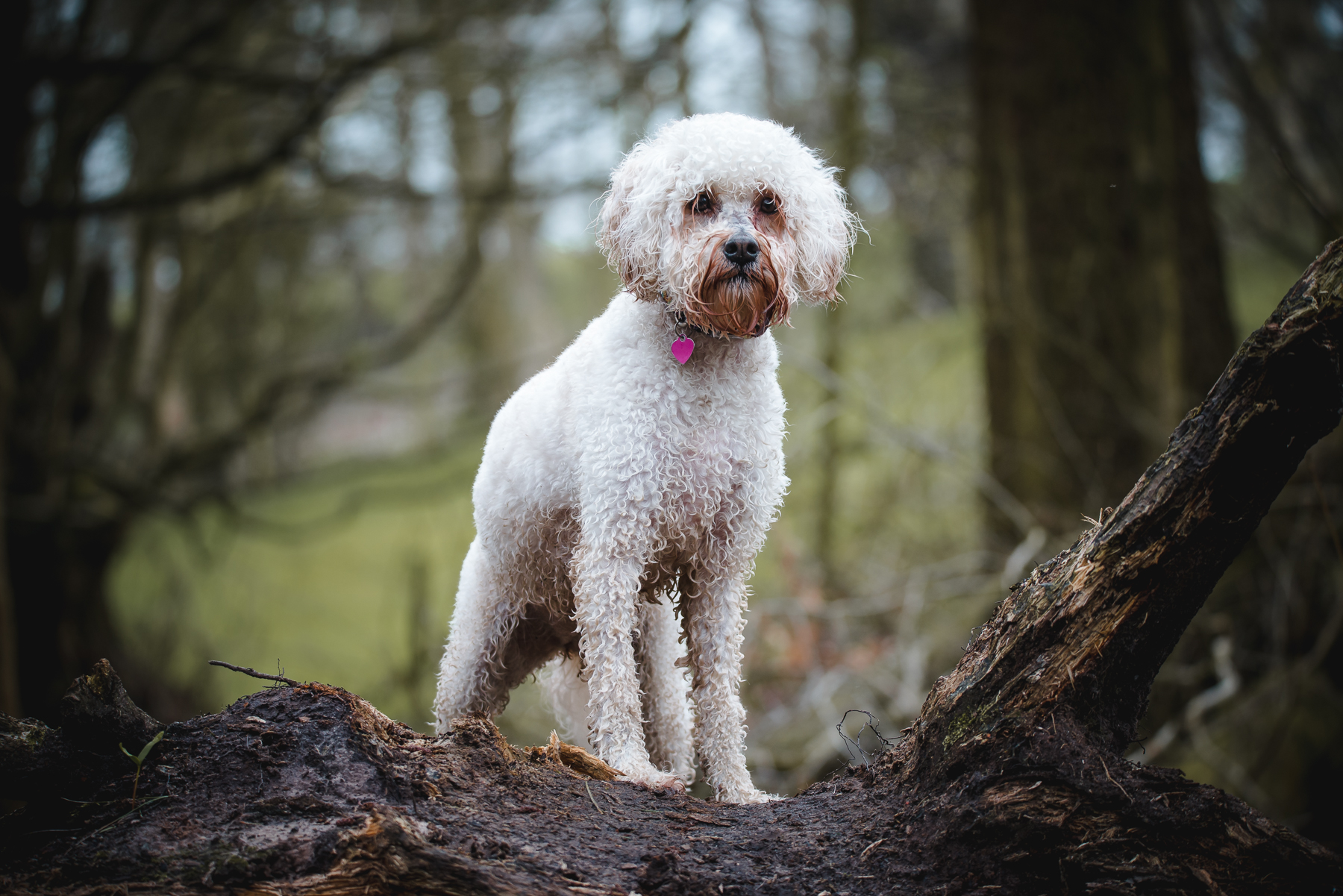 Classic dog photography in the woods - cockapoo