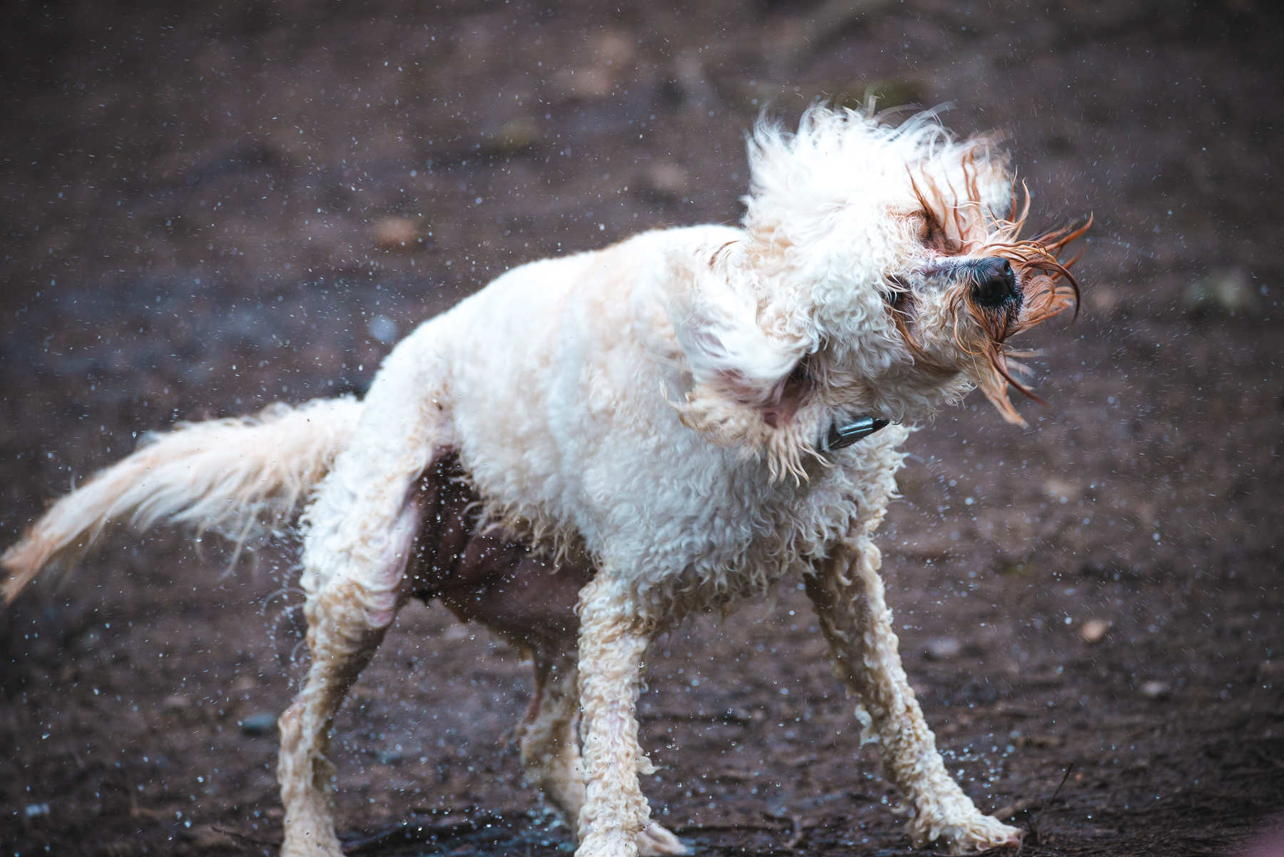 A wet Cockapoo dog shaking off water