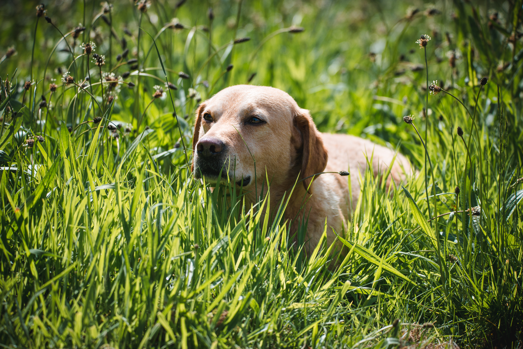 Professional dog photograph - a yellow Labrador in the grass.