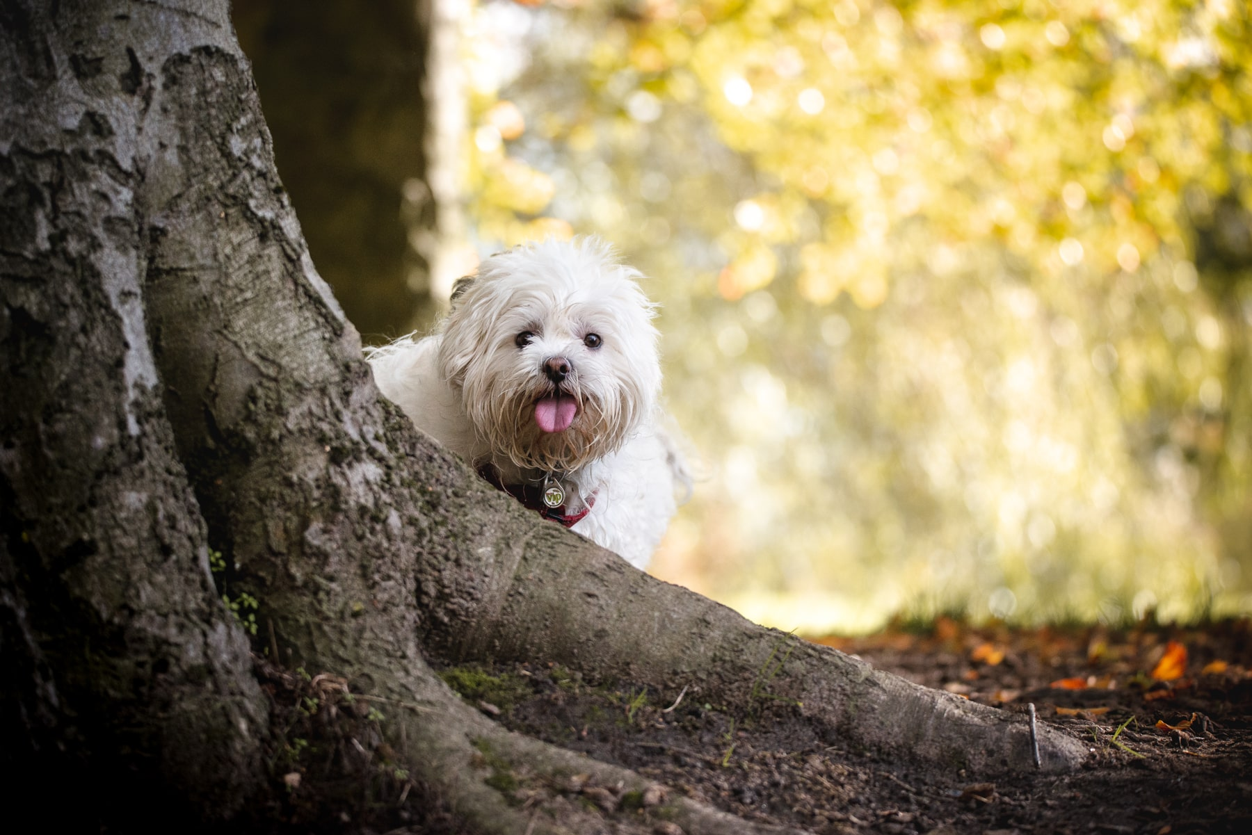 Autumn Dog portrait - Copyright 2018 Diffuse Photo