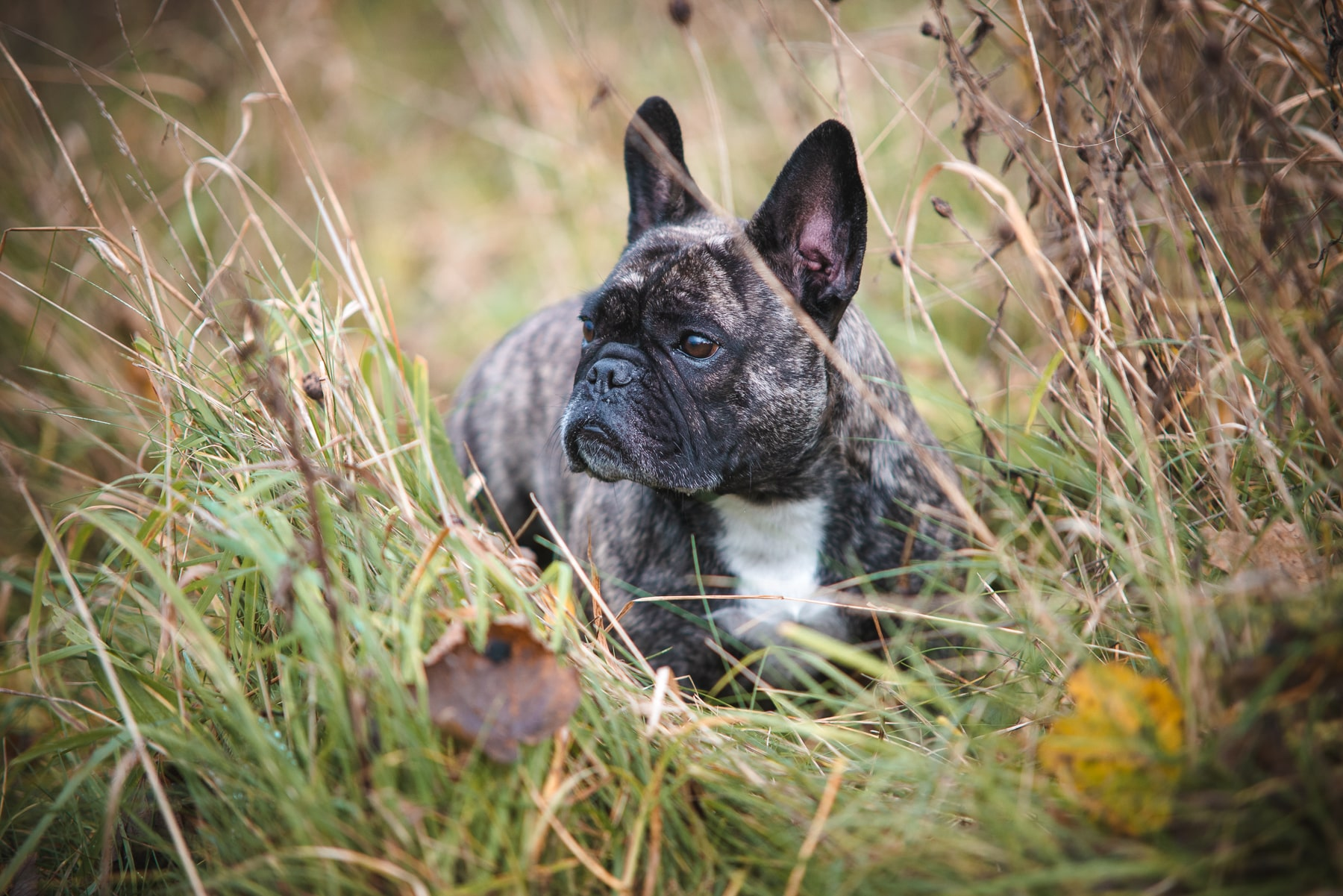 French bulldog among the tall autumn grass - Copyright 2018 Diffuse Photo