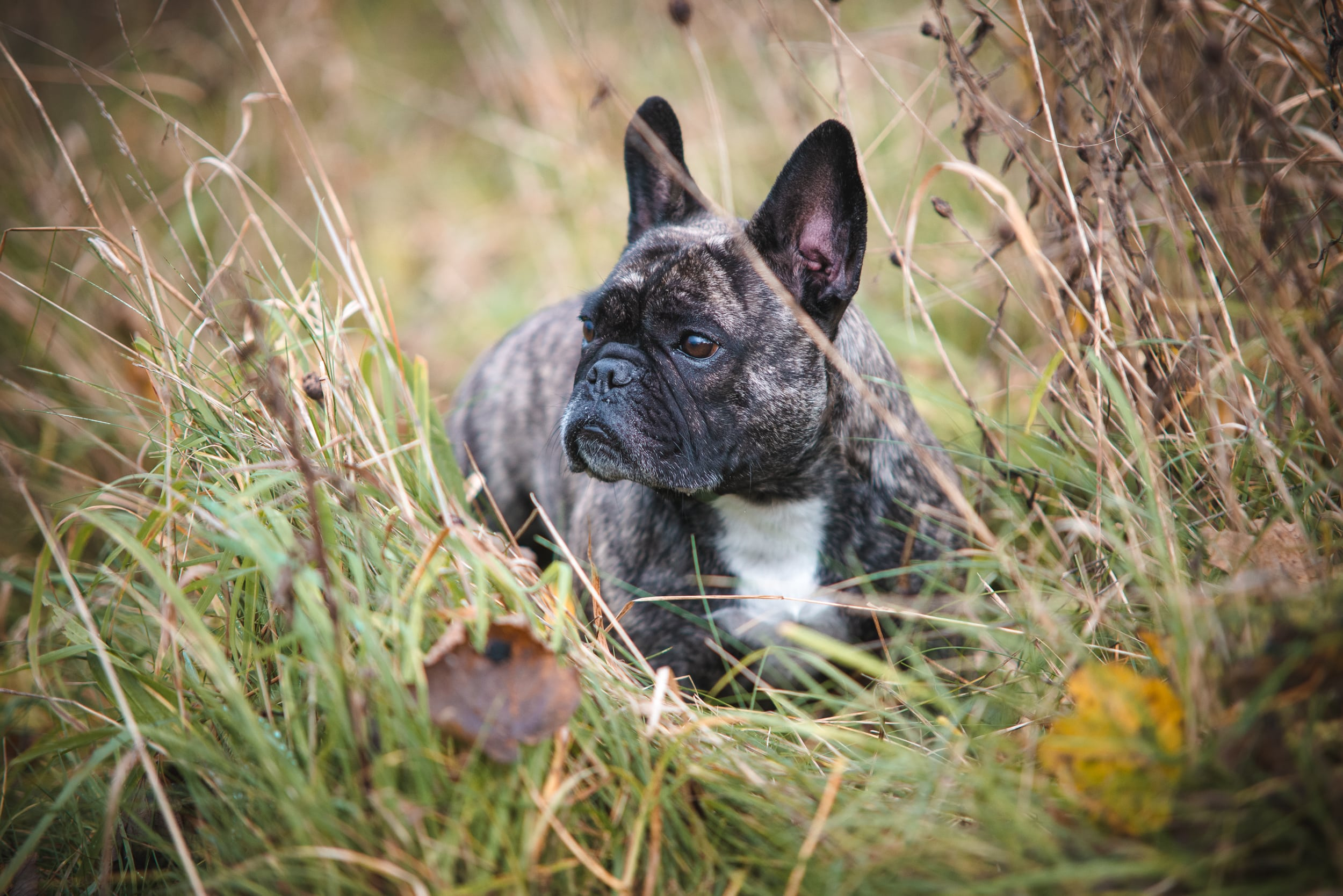 Reni - French Bulldog autumn shoot