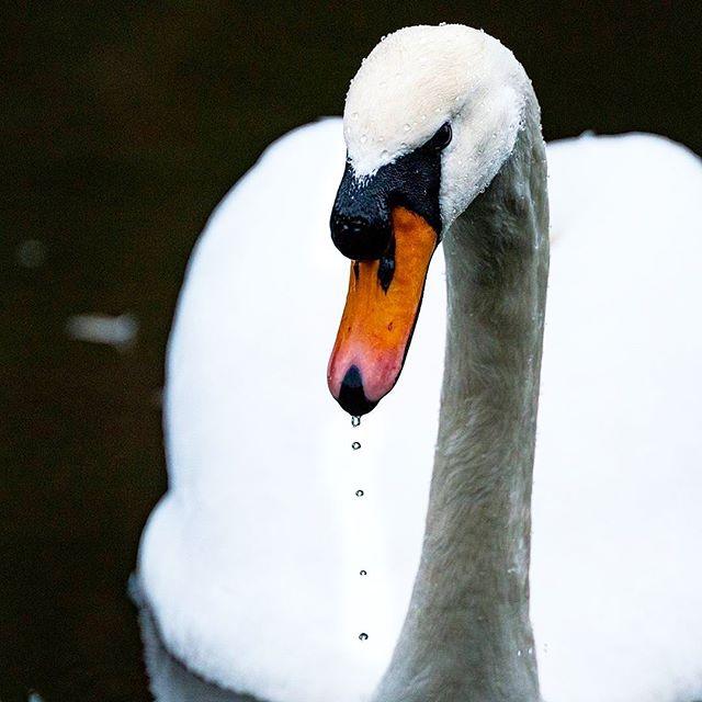 Swan 2/3 © diffuse photo • • #swan #birds #bird #waterfowl #whitebird #nature #naturelovers #igersnature #natureigers #instanature #conservation #greenplanet #oneearth #lovenature #igers