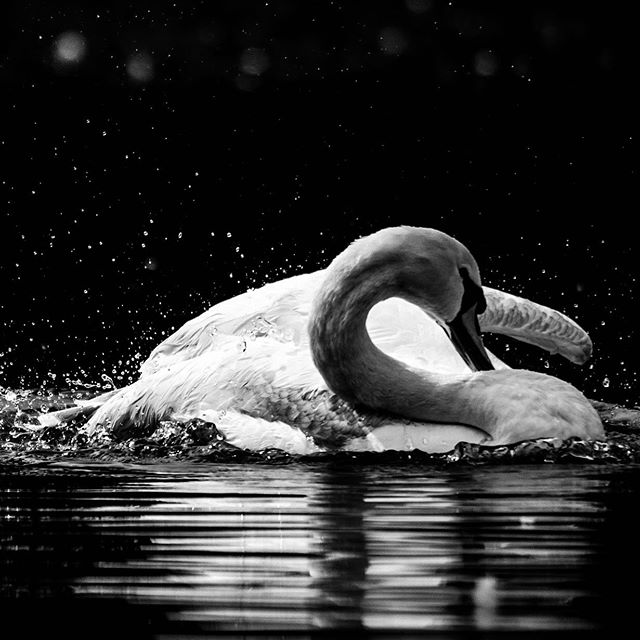 Swan 3/3 © diffuse photo • • #swan #blackandwhite #bnw #monochromatic #monochrome #bird #birds #waterbirds #waterfowl #nature #naturelovers #naturephotography #igers #hicontrast #highcontrast #natureigers #awesomeearth #awesome_earthpix