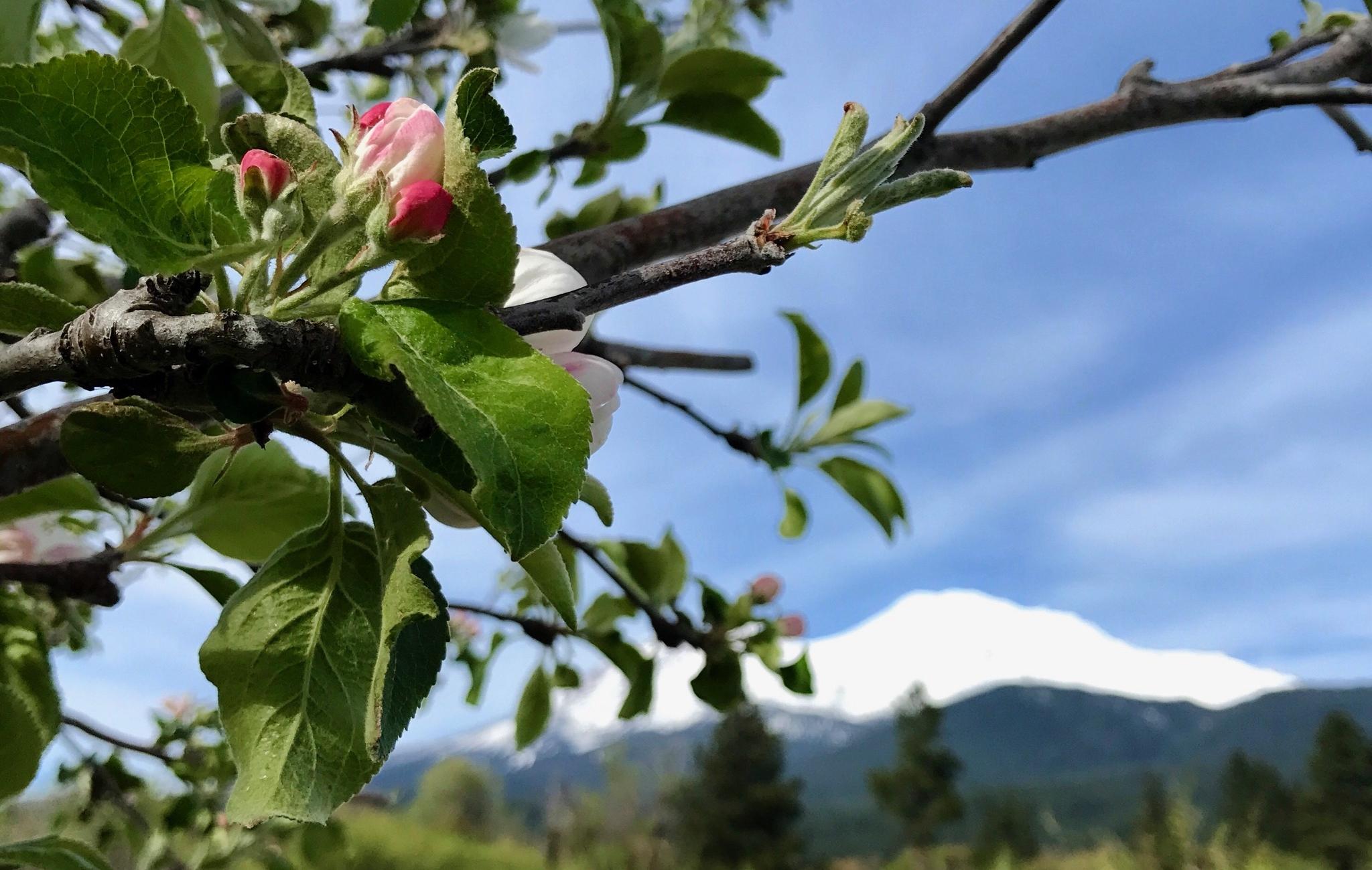 Rose Shasta.jpg