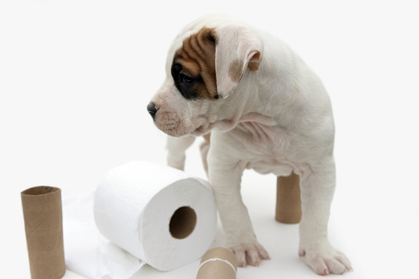 Potty Train Your Puppy My Pit Bull