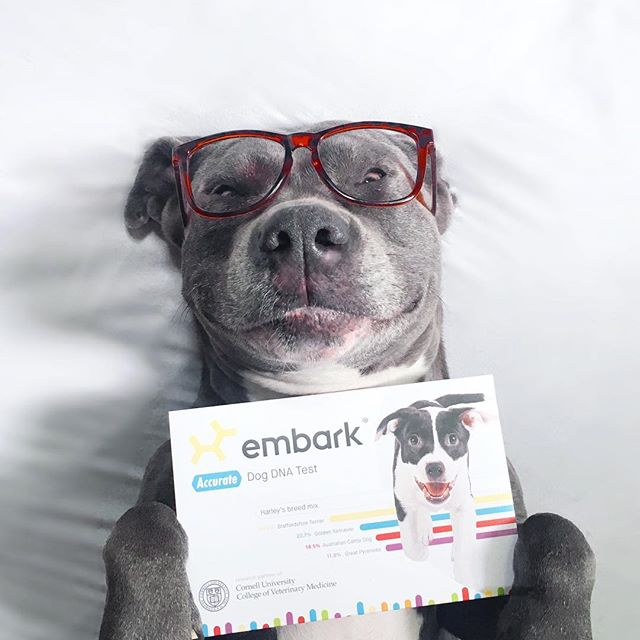 ⭐️CONTEST⭐️ Bentley is excited to test her DNA with the @embarkvet DNA Test and find out if she's mixed with any other breed of dog. We were lucky enough to score a second test to giveaway to one lucky follower! . . In order to qualify you must like this photo, follow @embarkvet and @mypitbullfriend and tag three friends in the comments below. The contest winner will be chosen at random on May 31st 2018 and will receive their own @embarkvet DNA test. This test also checks for 160+ diseases, unique traits, and comes with a unique Id tag to trace your dog back home in case your dog gets lost. How cool is that?! #embarkwithus