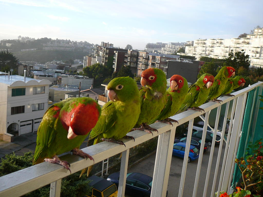 """For two decades, a section of Cole Valley near Willard, Belmont, Woodland and Edgewood streets has been a destination of choice for a flock of birds known as the """"wild parrots of Telegraph Hill."""""""