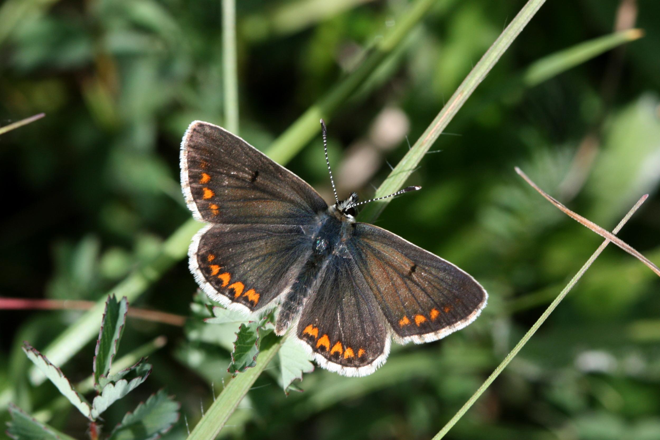 Brown Argus (male upperside)