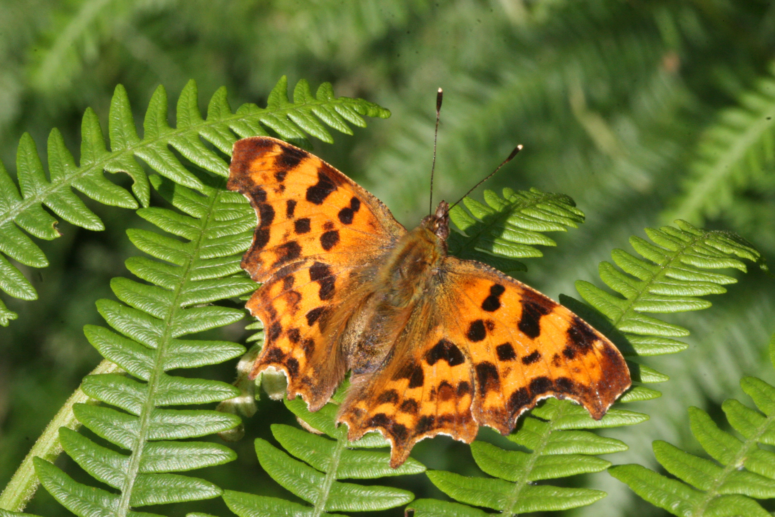 Comma (male or female upper side identical)