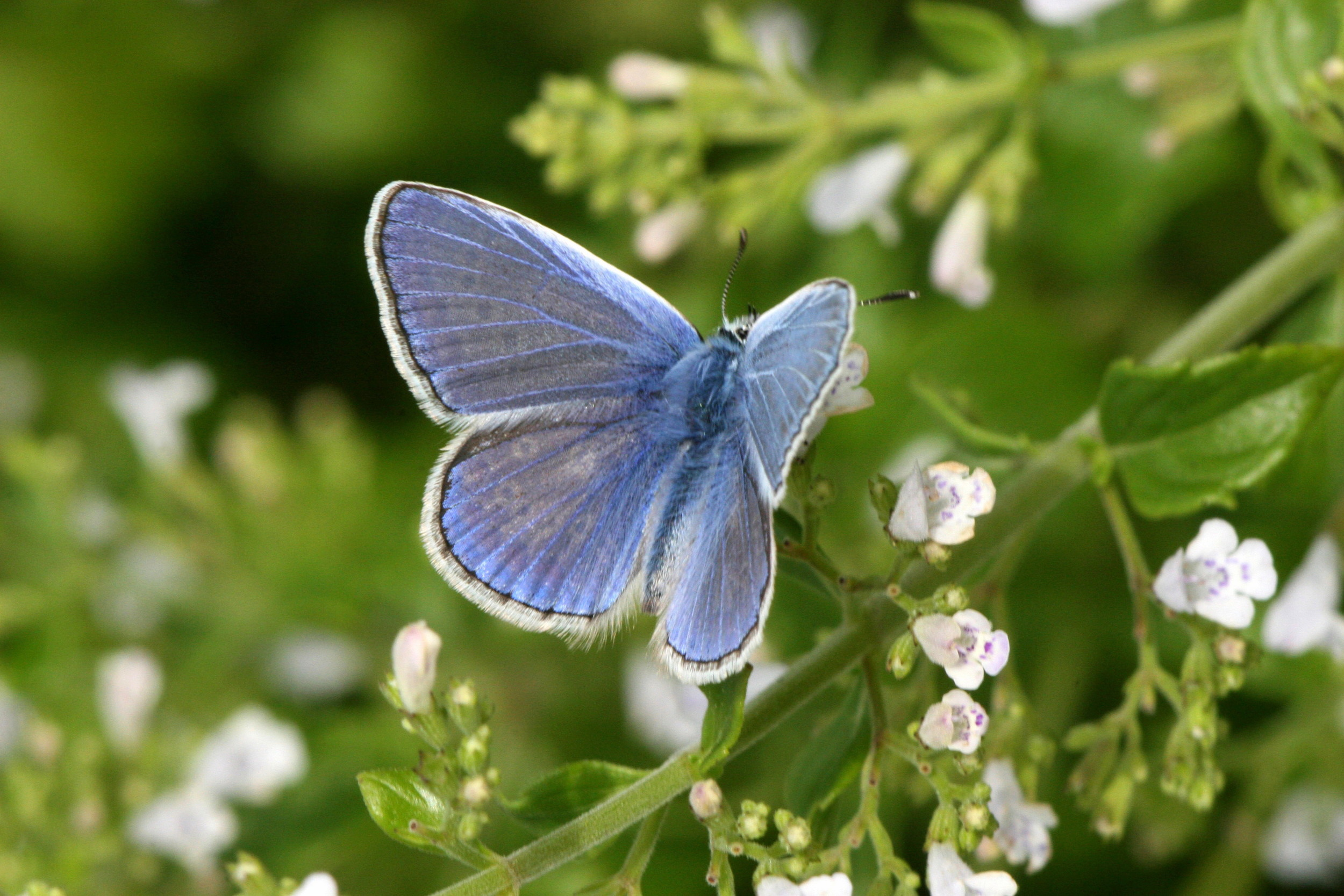 Common Blue (male upper side)