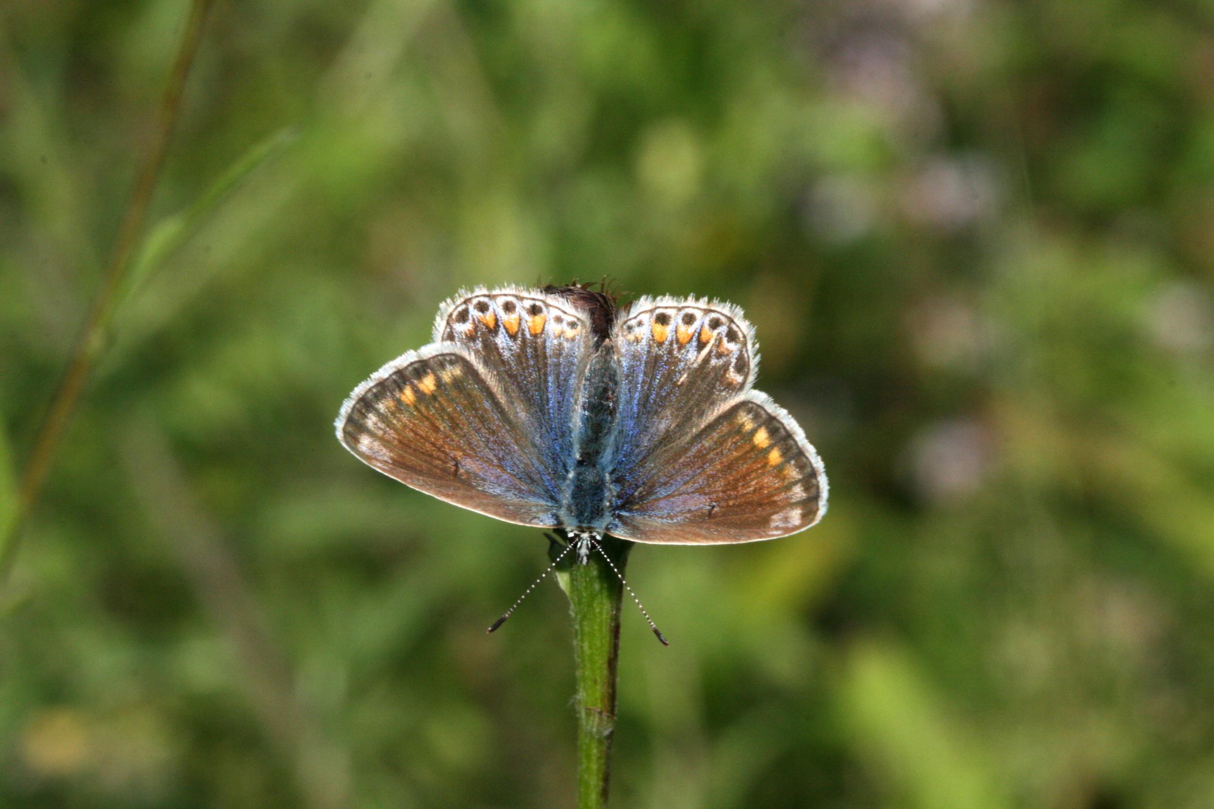 Common Blue (female underside)