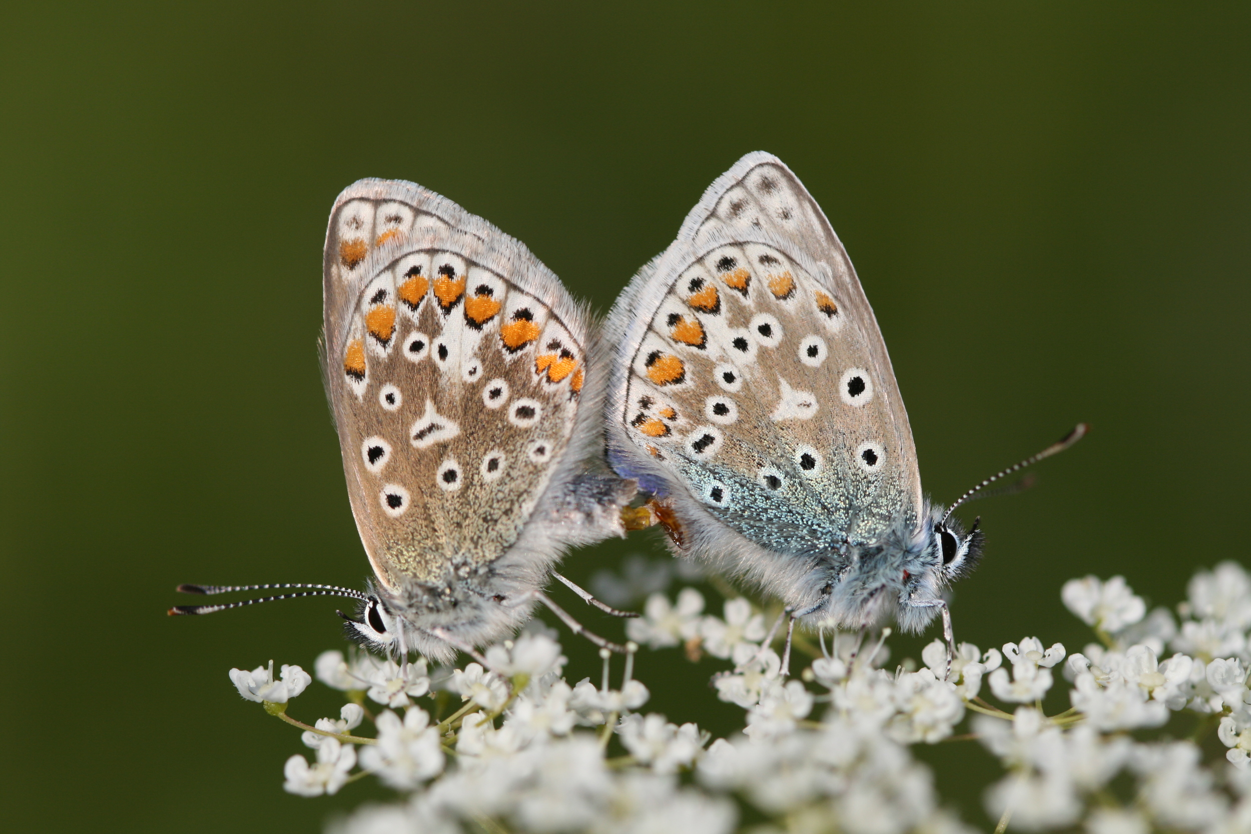 Common Blue (a mating pair)
