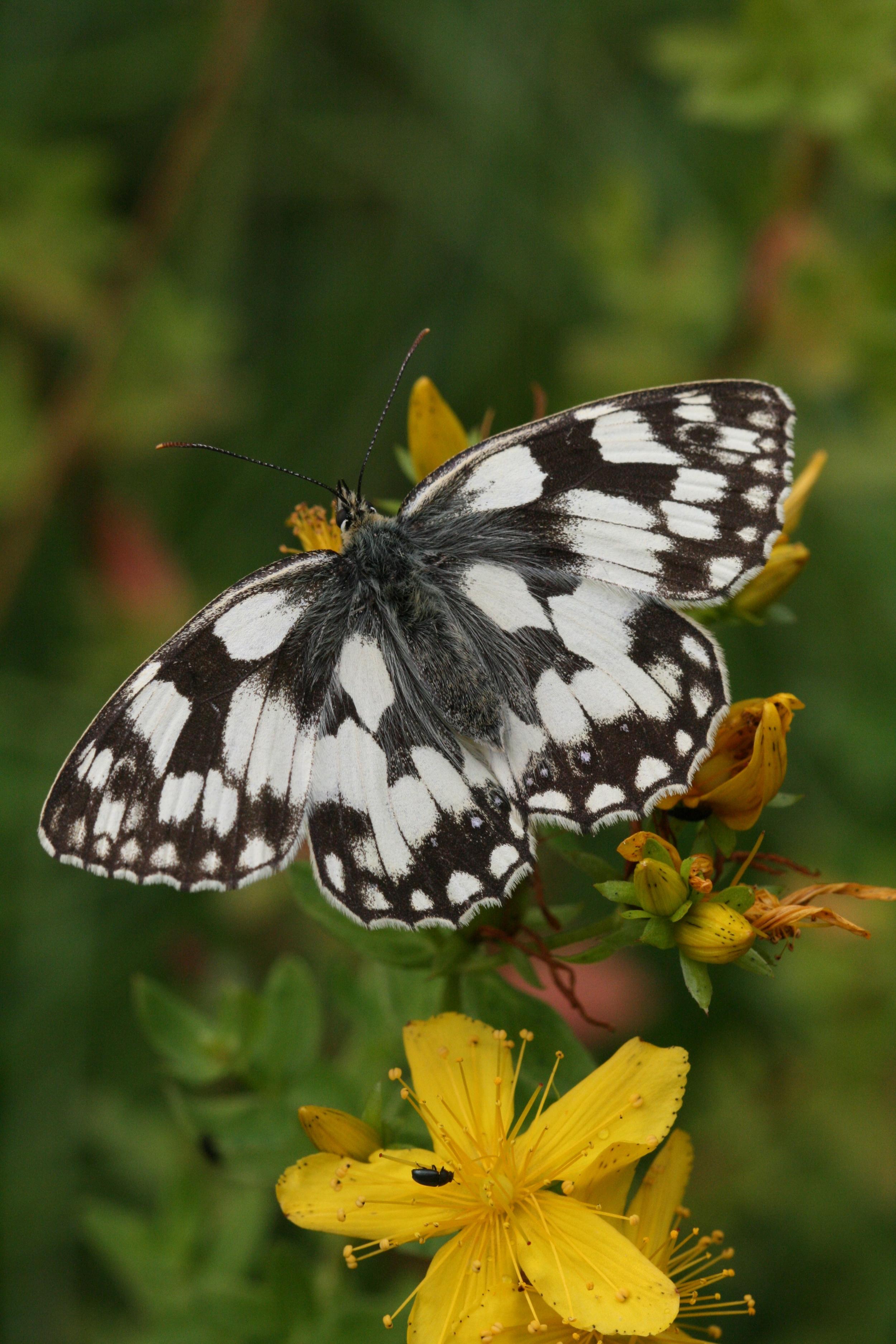 Marbled White (female upperside)