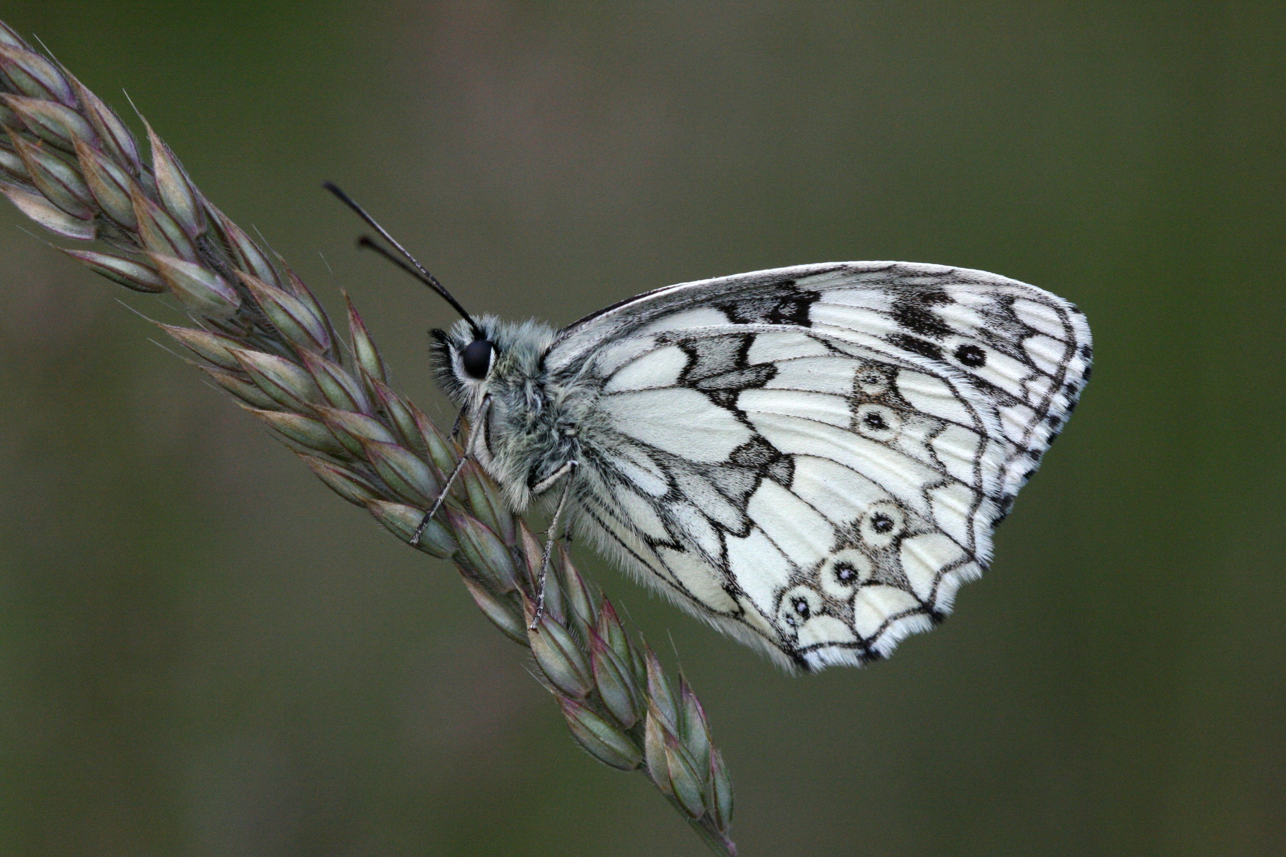 Marbled White (male underside)
