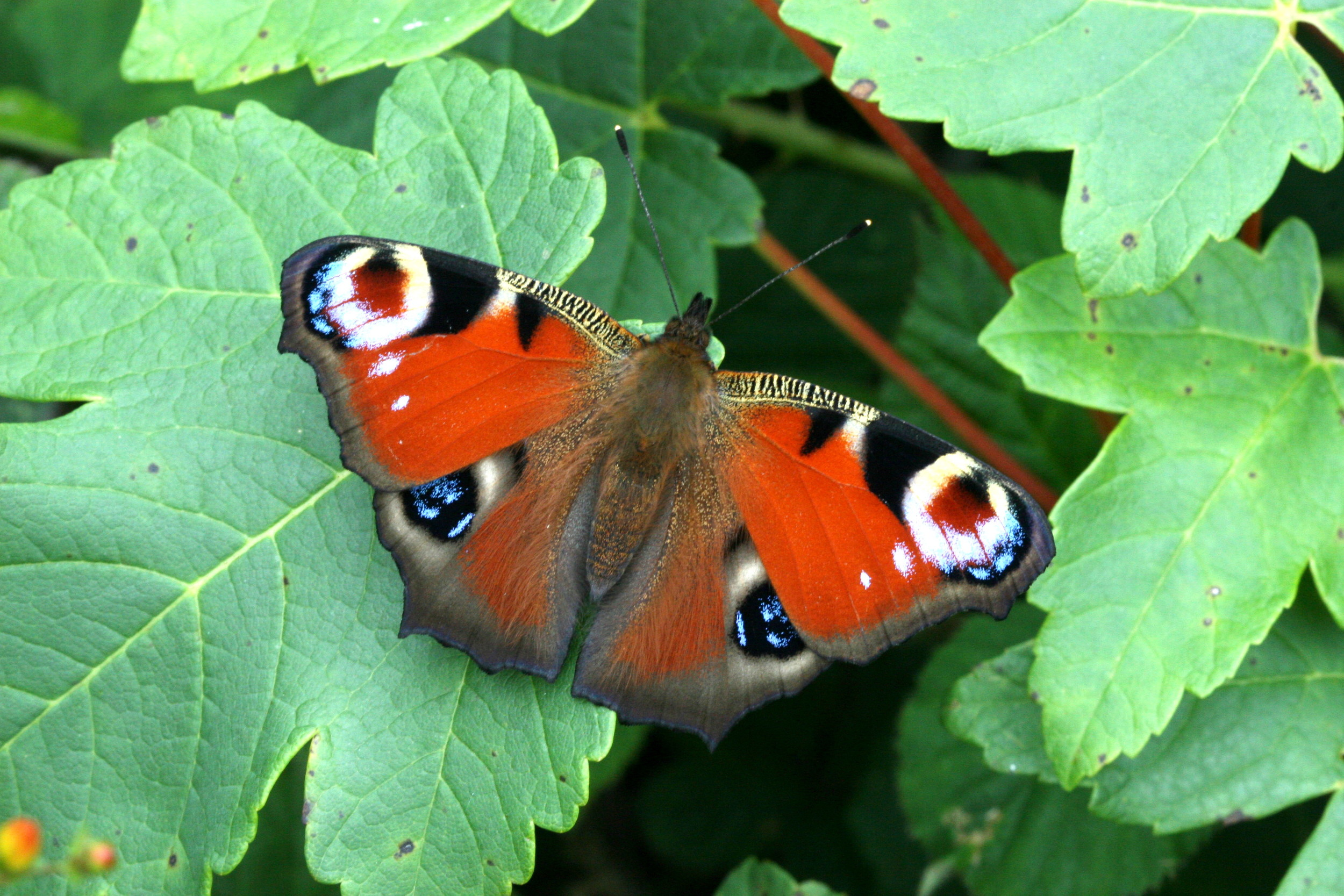 Peacock - male or female upperside (identical)