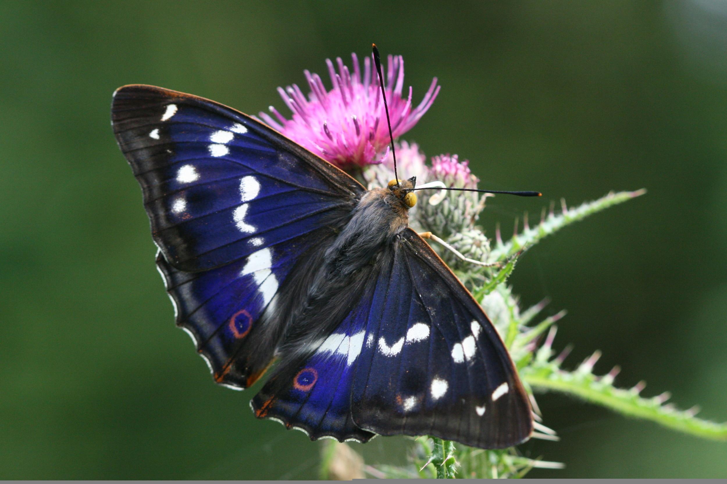 Purple Emperor (male upperside)