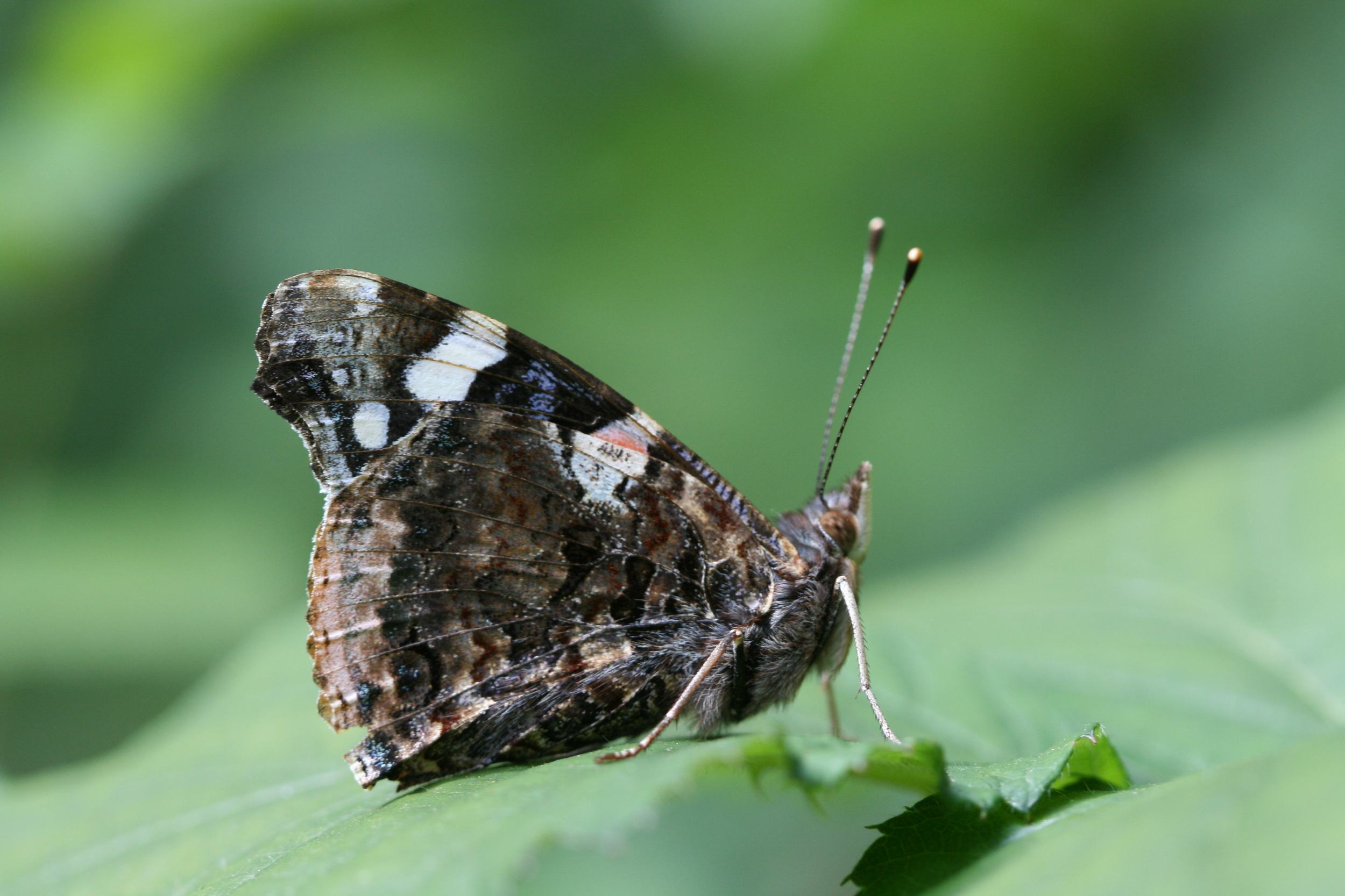 Red Admiral - male or female underside (identical)