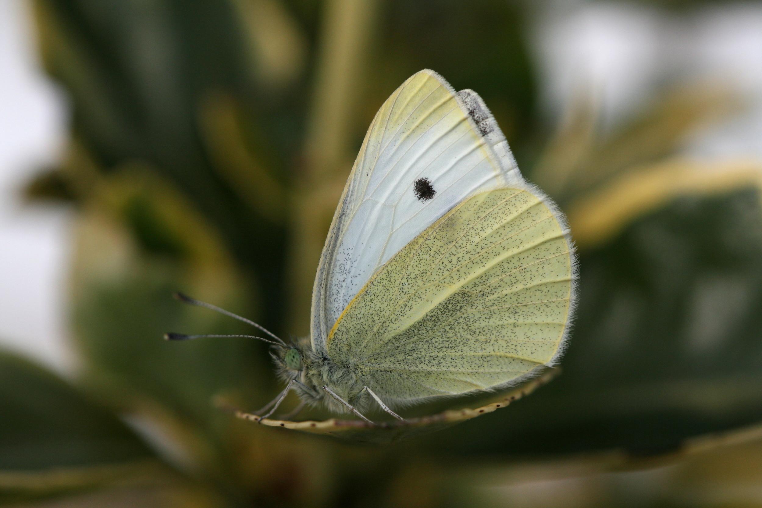 Small White (male underside)