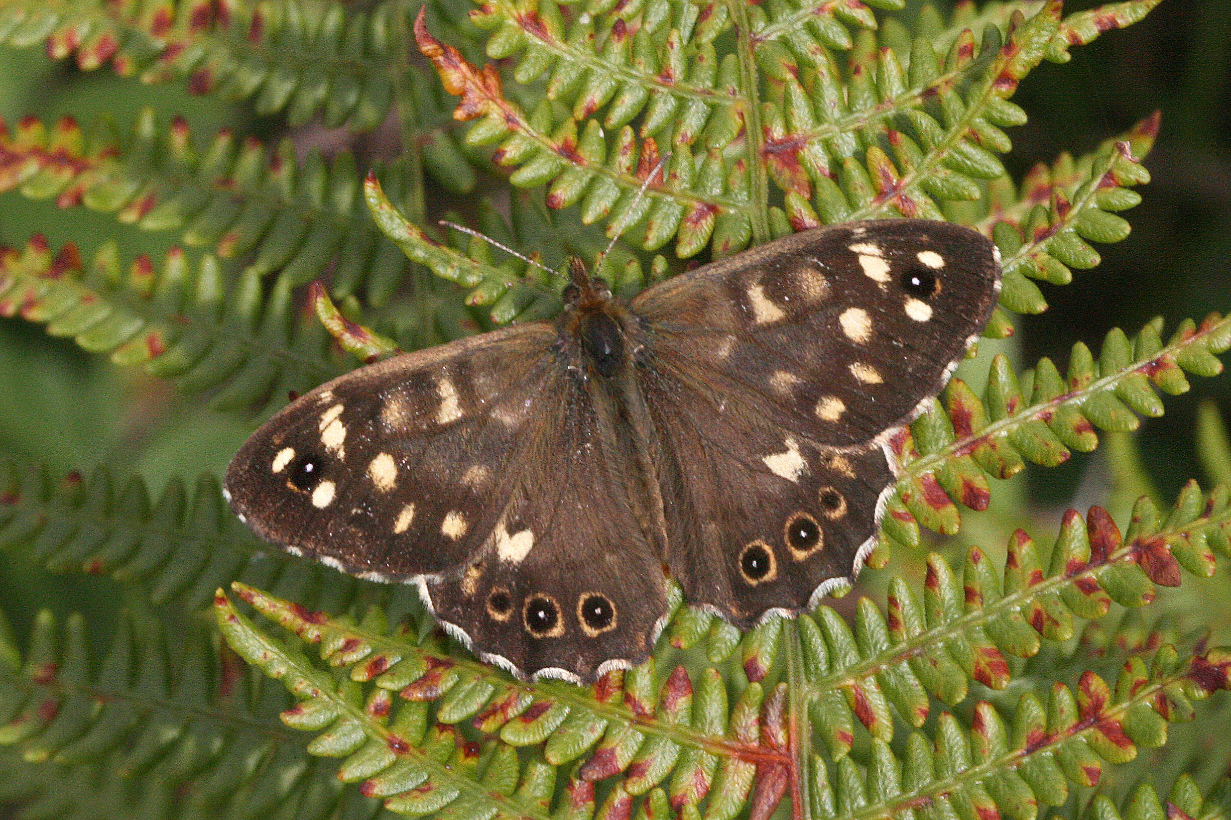 Speckled Wood (male upperside)