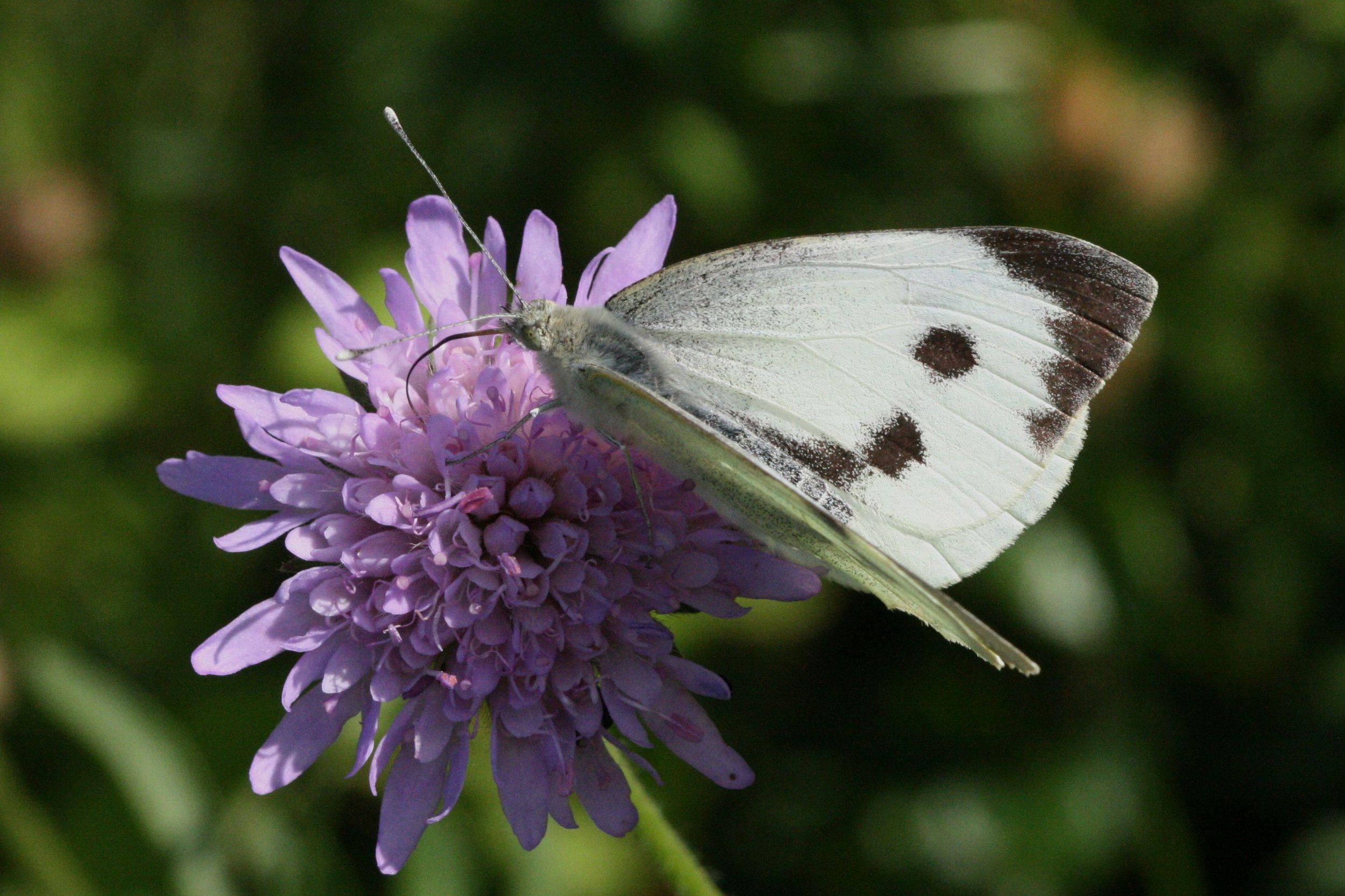 Large White (female upperside)