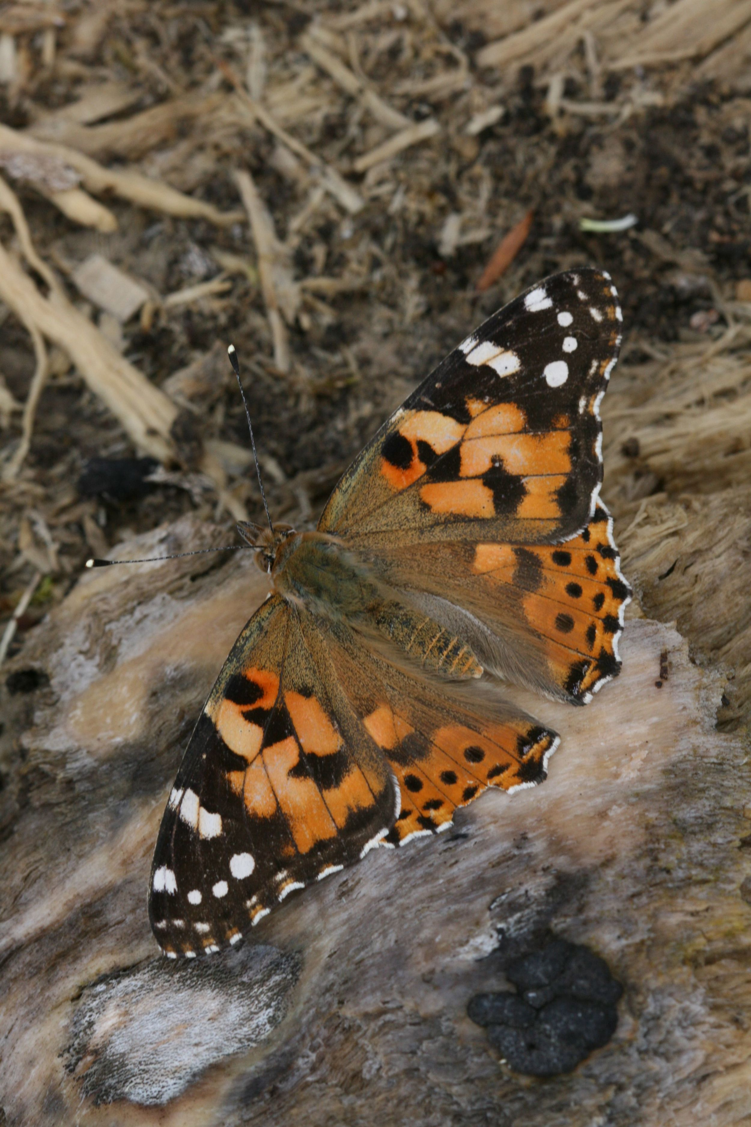 Painted Lady - male or female upperside (identical)