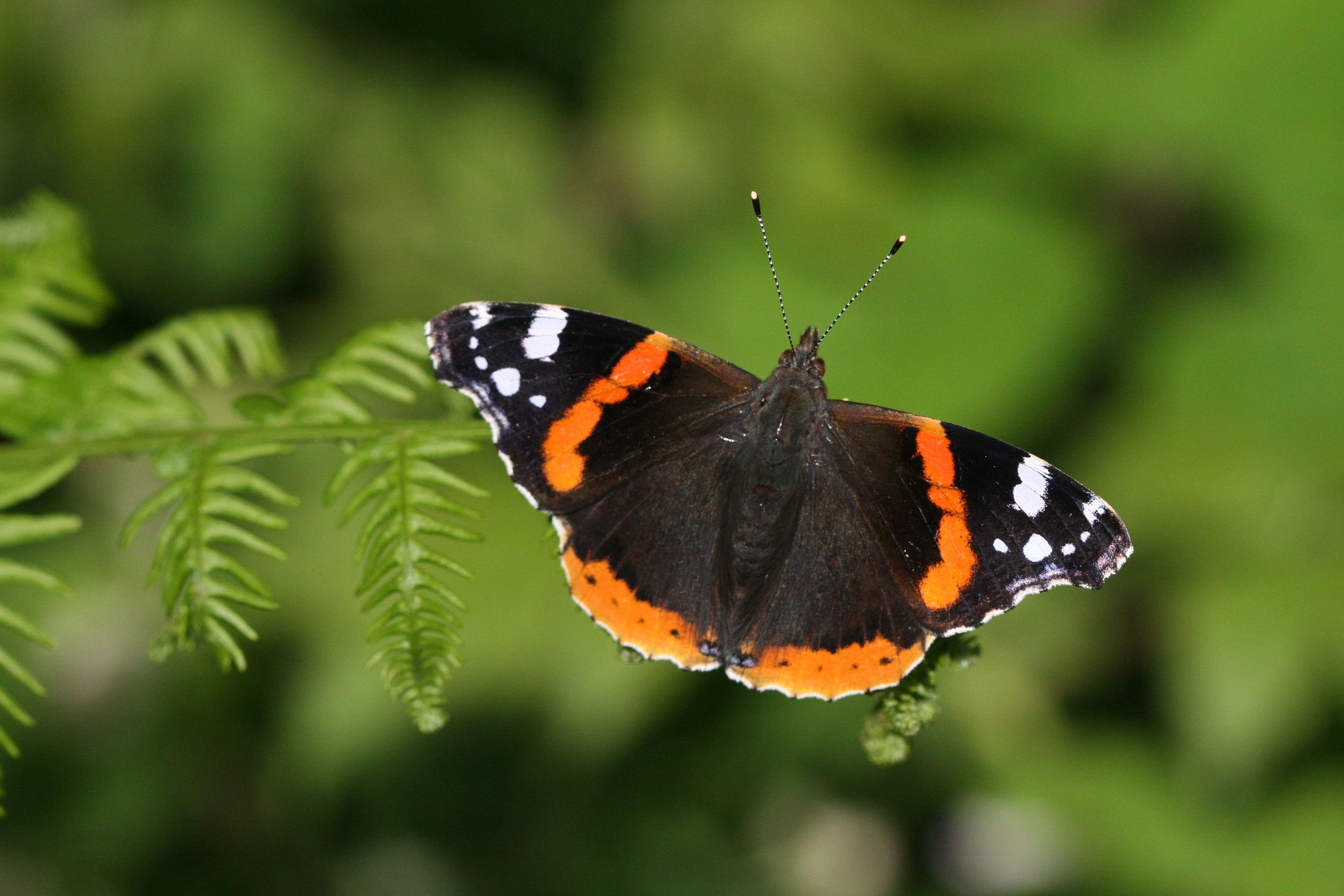 Red Admiral - male and female upperside (identical)