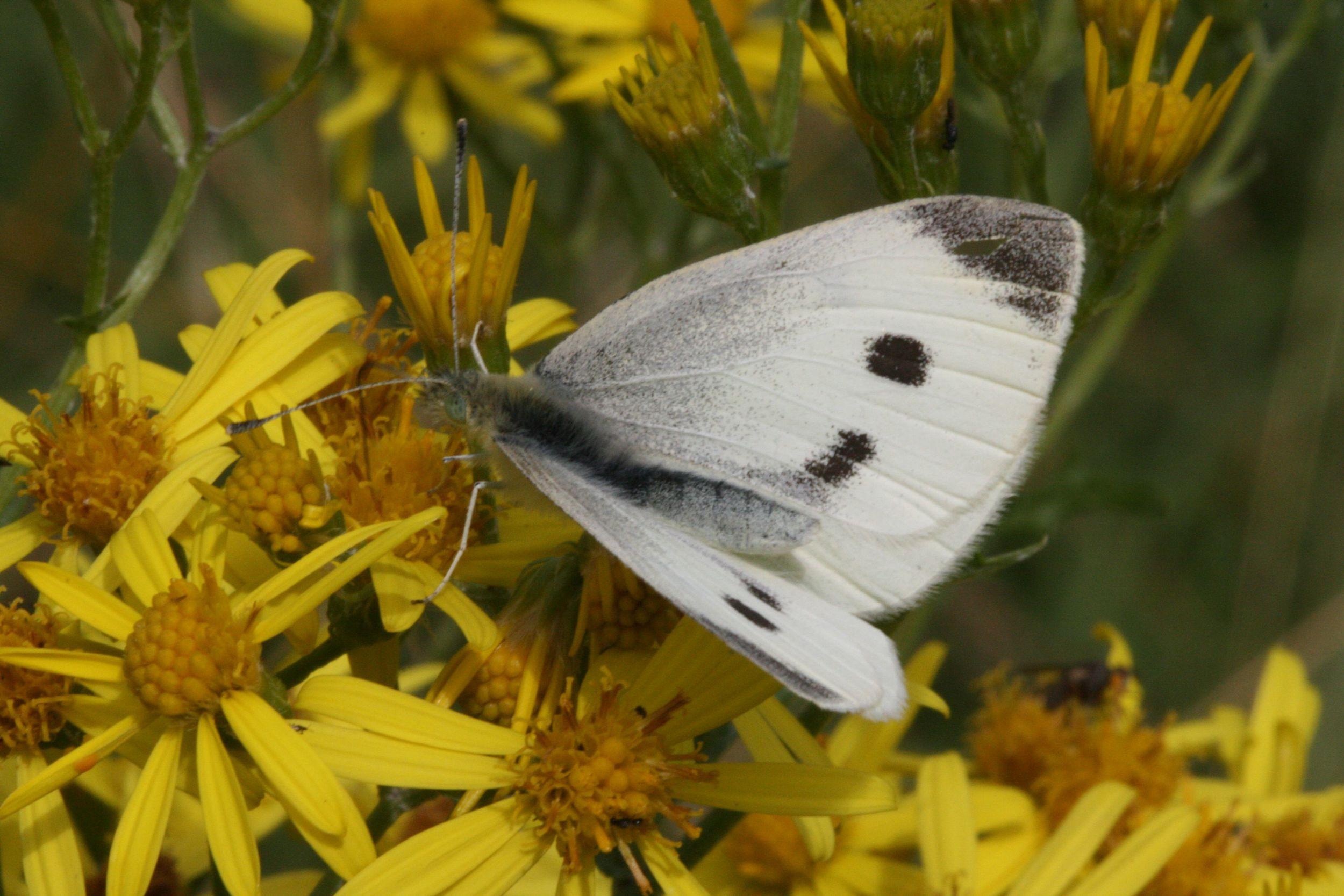 Small White (female upperside)