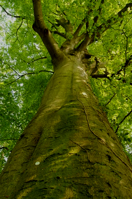 150 year old beech tree (tag 0963). One of  40 veteran and potential veteran trees  identified, tagged, measured and photographed in May 2012 by John Morris, Chiltern Woodlands Project.