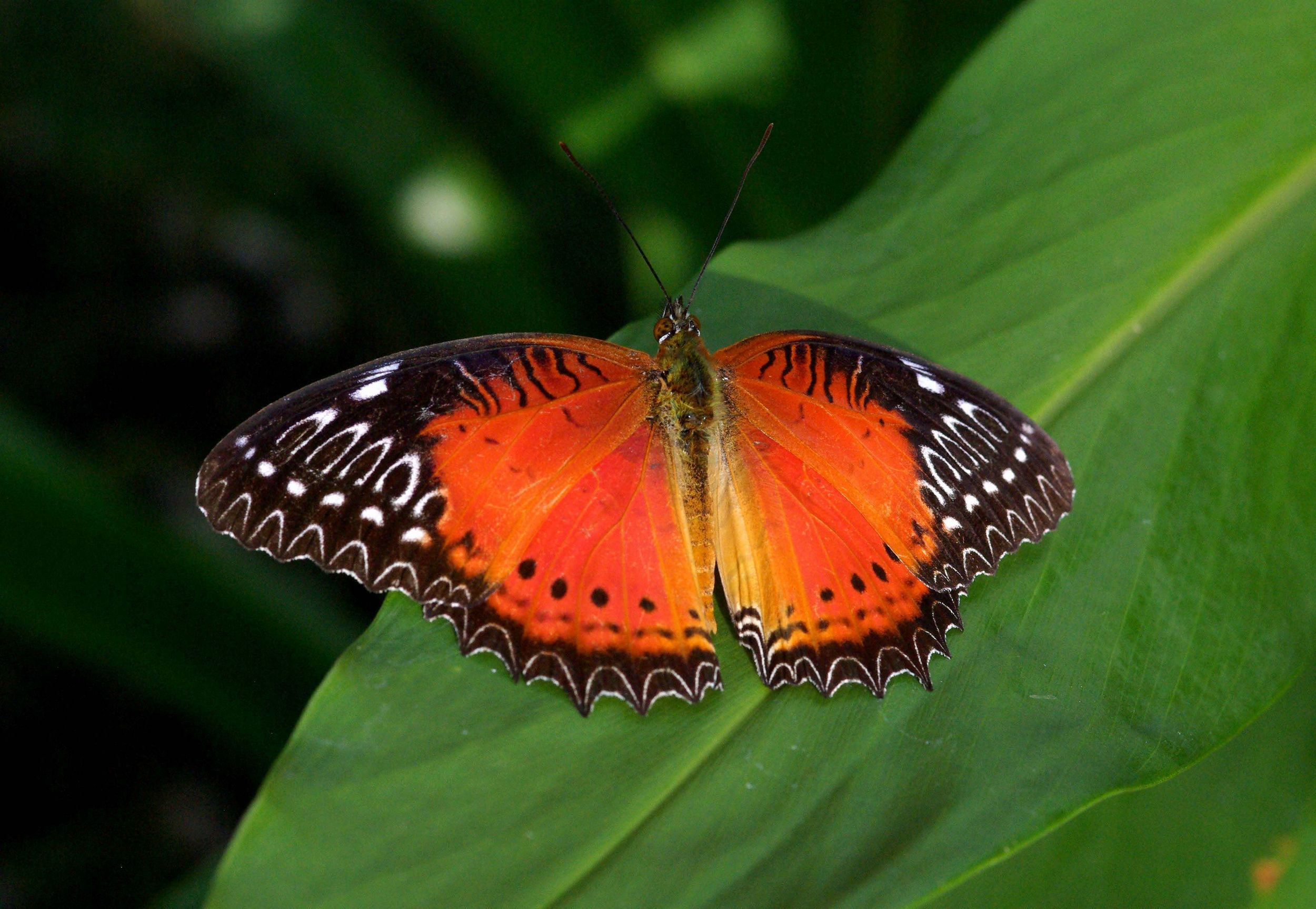 Red Lacewing by Peter Bygate