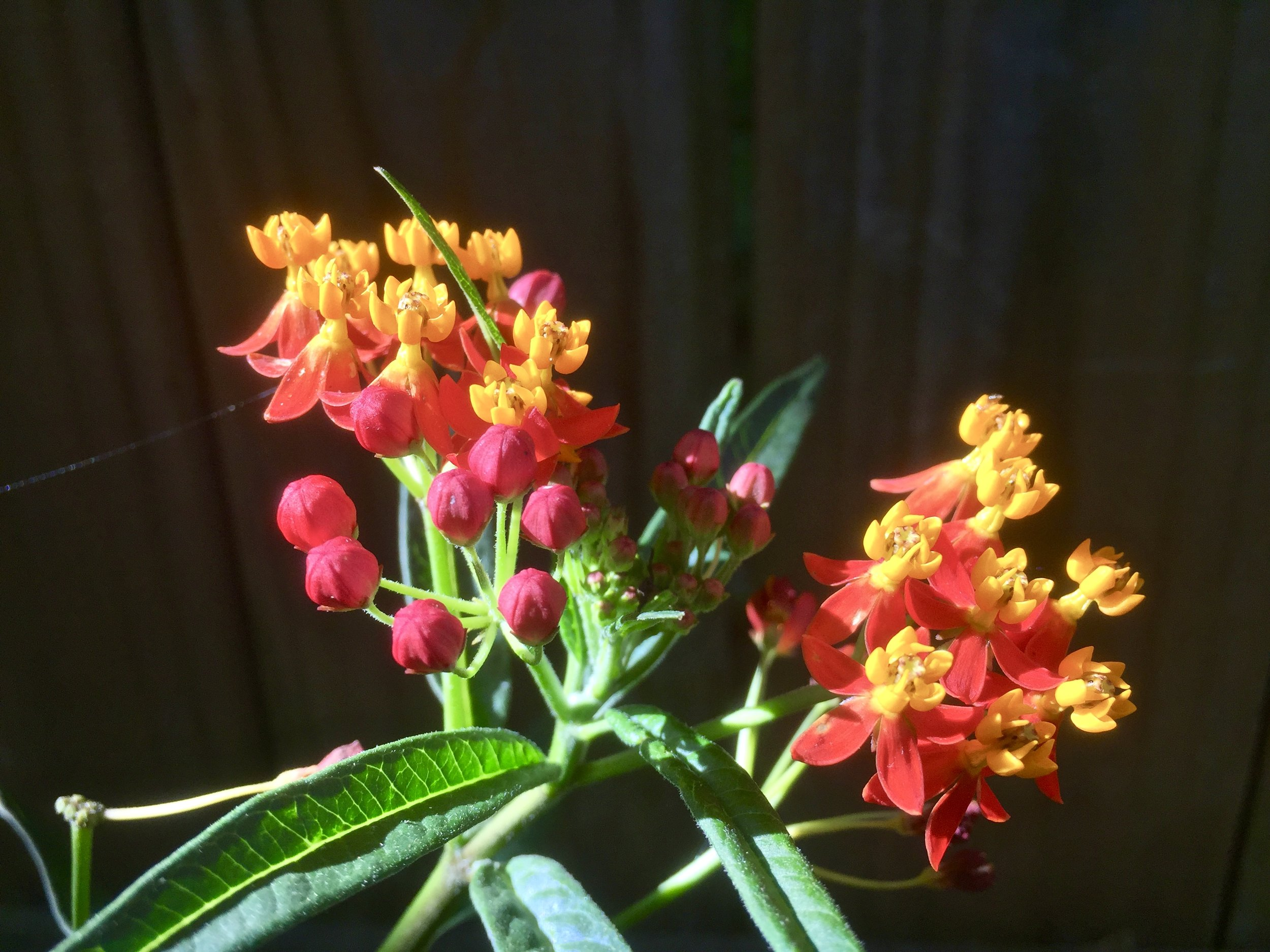 Tropical milkweed (Asclepias cuassavica). Although this variety is a viable food source for Monarch larvaue and available at many retail outlets, it is not native to Georgia and is not a preferred source of seeds.