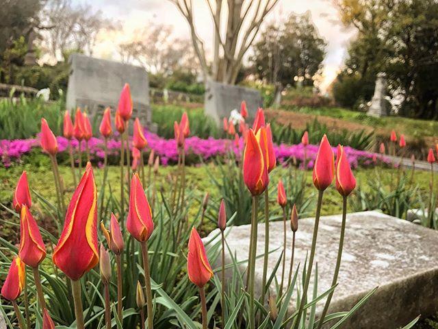 April is going to be amazing... _______________ #getoutside #cemetery #flower #flowers #flowerstagram #flowersofinstagram #atl #atlanta #georgia #exploregeorgia #oaklandcemetery #spring