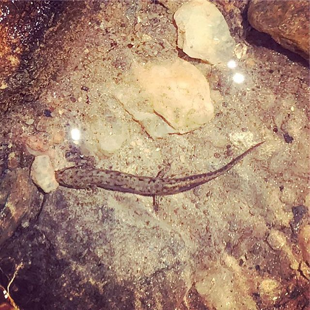@cheloniagodwin: Is this a young waterdog? I know it's not a good picture, and the gills are hardly visible. It was tiny.